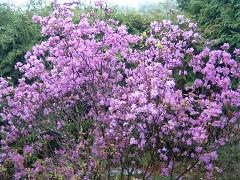 富良野市の花・エゾムラサキツツジ