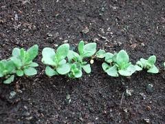 ラベンダー種蒔き後1ヶ月