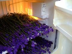 ラベンダーを冷蔵庫で乾かす