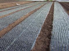 商業栽培におけるラベンダーの挿し木