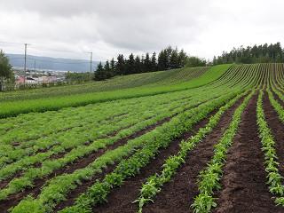 ファーム富田・彩りの畑(2014年6月20日)