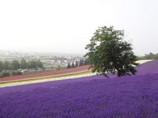ファーム富田・彩りの畑(2014年7月18日)