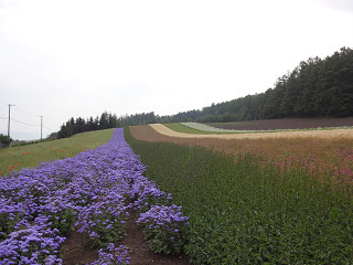 ファーム富田・彩りの畑(2014年8月1日)