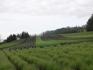 ファーム富田・彩りの畑(2015年6月19日)