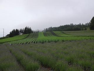 ファーム富田・彩りの畑(2015年6月26日)