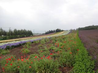 ファーム富田・彩りの畑(2015年7月31日)