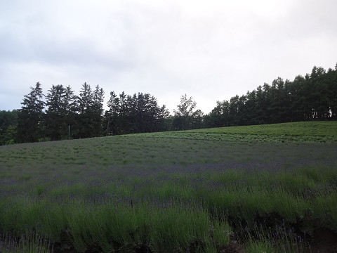 ファーム富田・トラディショナルラベンダー畑(2017年6月23日)